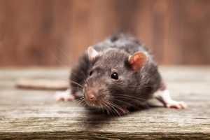 Rodent Control and Rat Extermination Services in Enid, Oklahoma
